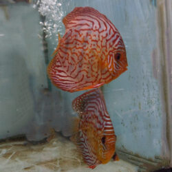 discus-breeding-pairs-striated-reds-by-wattley-discus