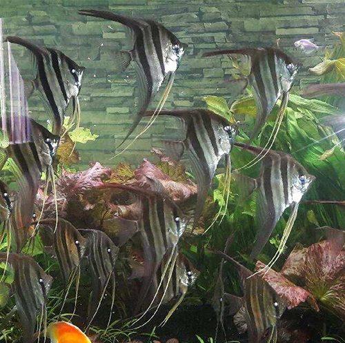 Large Atapabo Altums 10-12 Inches at wattley discus