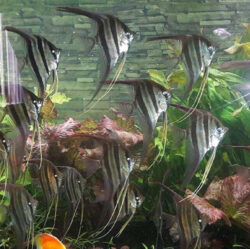 Large Atapabo Altums 10-12 Inches at wattley discus