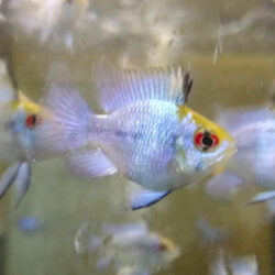 electric-blue-bubble-rams-at-wattley-discus