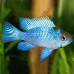 electric-blue-ram-wattley-discus