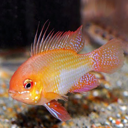 golden-rams-wattley-discus