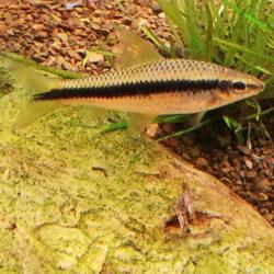 SAE-siamese-algae-eater--wattley-discus