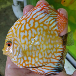 Yellow Checkerboard Panda at-wattley-discus