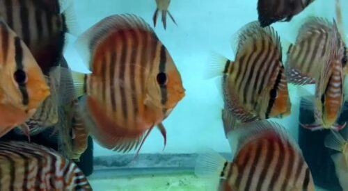 alenquer discus by wattley discus