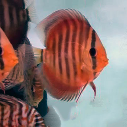 alenquer-discus-by-wattley-discus