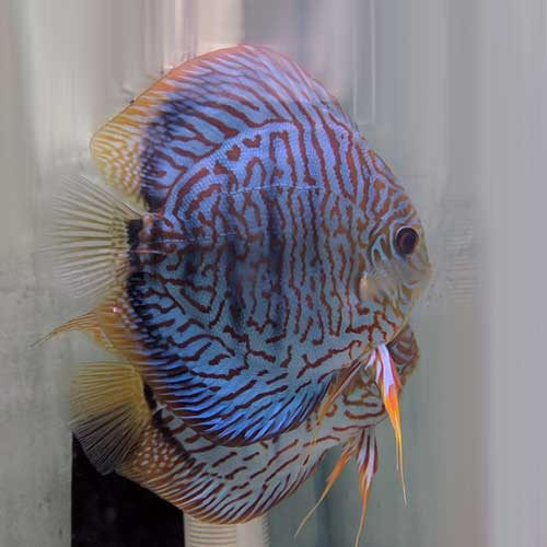 tiger-turqoise-discus-wattley-discus