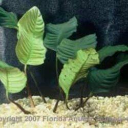 Anubias Coffeefolia Wattley Discus