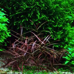 H. Araguaia - Tissue Culture Plant for sale by Wattley Discus