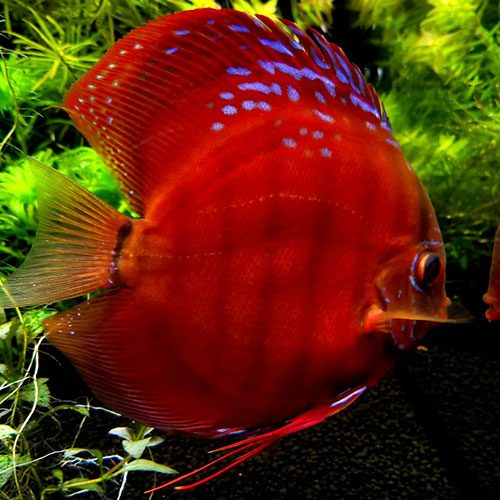 red-ninja-Cuipea-alenquer-cross-large-wattley-discus