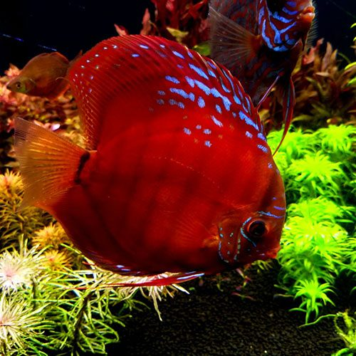 red-ninja-Cuipea alenquer cross-wattley-discus