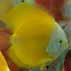 Yellow-Melon-wattley-discus