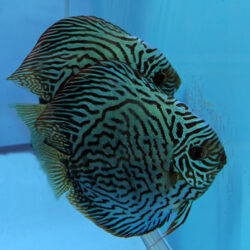 tiger-turquoise-breeding-pairs-wattley-discus