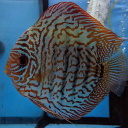 tiger-turquoise-pair-wattley-discus