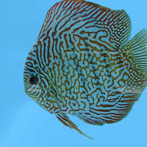 tiger-turquoise-wattley-discus
