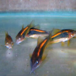 Orange-laser-Cory-at-wattley-discus