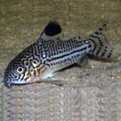 Trilineatus-Cory-at-wattley-discus