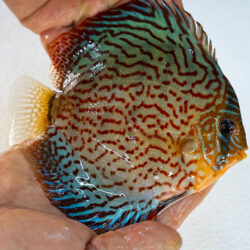 leopard-turquoise-wattley-discus
