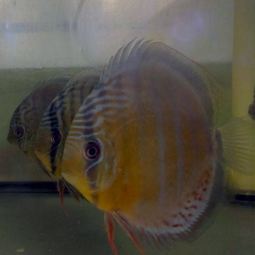 tefe-green-wild-discus-wattley-discus