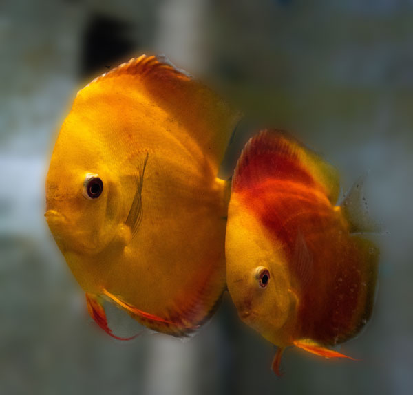 discus breeding pair