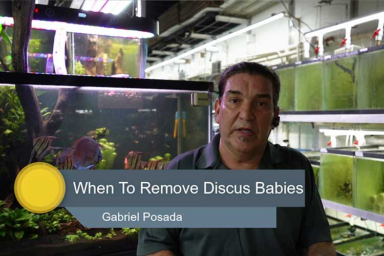 When to Remove New Baby Discus