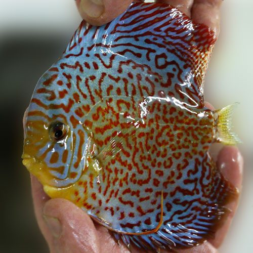 Ring Leopard Discus Wattley Discus