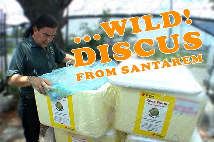 Santarem Wild Discus Shipment
