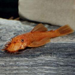 Super-Red-Bushynose-Pleco-at-wattley-discus