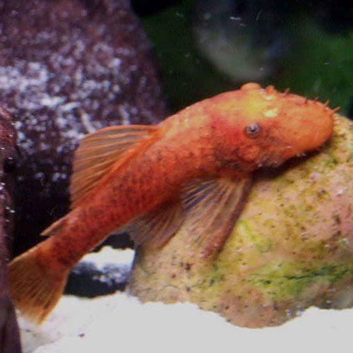 Super-Red-Albino-Bushynose-Pleco-wattley-discus