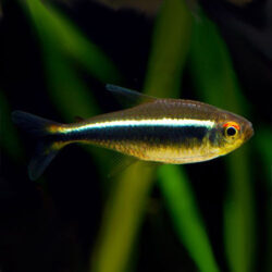 black-neon-tetra-wattley-discus