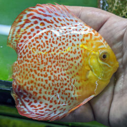 Albino-Ring-Leopard-wattley-discus-3