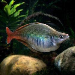 Bleheri-Rainbow-Fish-(Bleher's)-wattley-discus