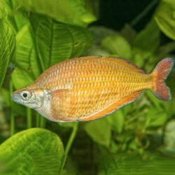 Millennial-rainbow-fish-wattley-discus