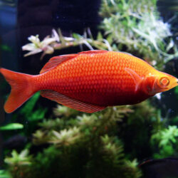albino-rainbow-fish-wattley-discus