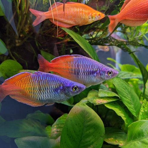 bosmani-rainbow-fish-blue-wattley-discus