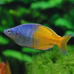 bosmani-rainbow-fish-wattley-discus