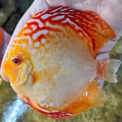 Albino-High-Body-Sunshine-never-pepper wattley discus