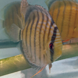 Red-Spotted-Tefe-Greens-wattley-discus-2