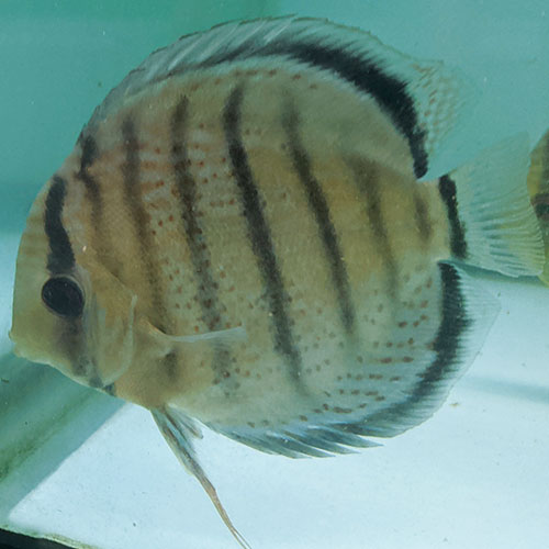 Red-Spotted-Tefe-Greens-wattley-discus