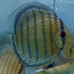 Simi-Red-Spotted-Tefe-Green-wattley-discus
