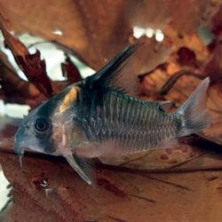 Corydoras-High-Fin-wattley-discus