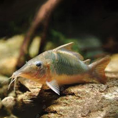 hognose-cory-Corydoras-wattley-discus