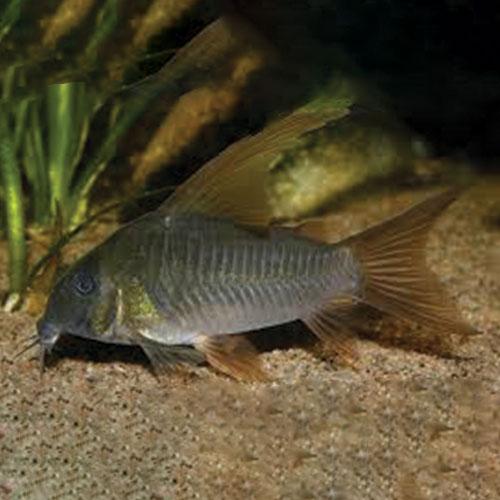 slate-cory-Corydoras-at-wattley-discus