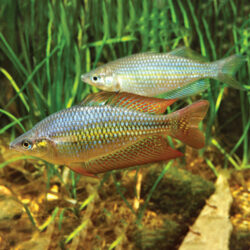 deepwater-creek-rainbow-fish-wattley-discus-1