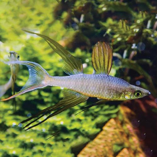 male-threadfin-rainbow-fish-wattley-discus