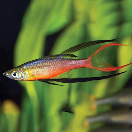 threadfin-rainbow-fish-wattley-discus