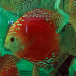 solid red refflesia wattley discus