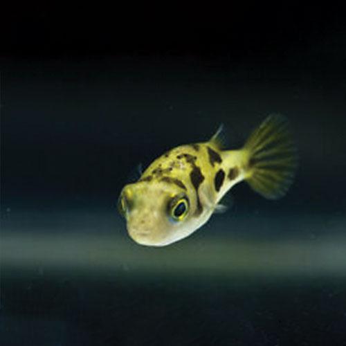 dwarf-puffer-fish-wattley-discus