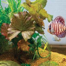 tiger-lotus-aquatic-plant-wattley-discus