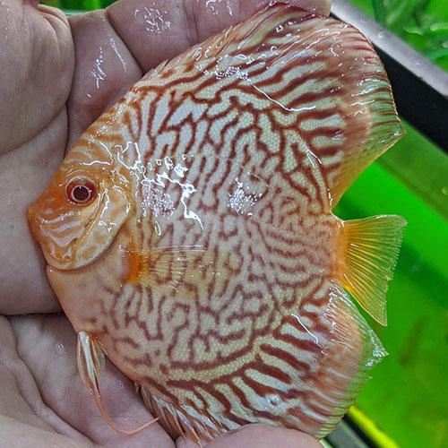 Albino-tiger-turquoise-wattley-discu